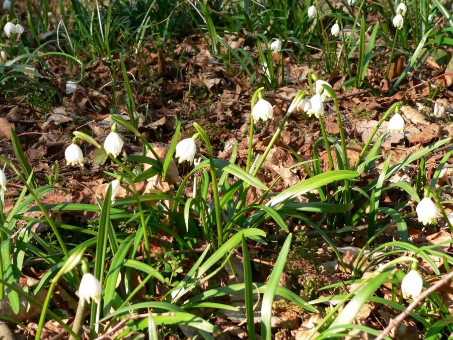 Märzenbecherblüte auf der Schwäbischen Alb